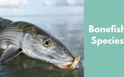 bonefish species